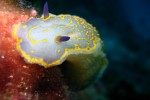 Hypselodoris messiniensis